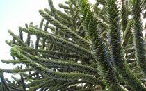 Чилийская араукария – необычное дерево оригинального вида